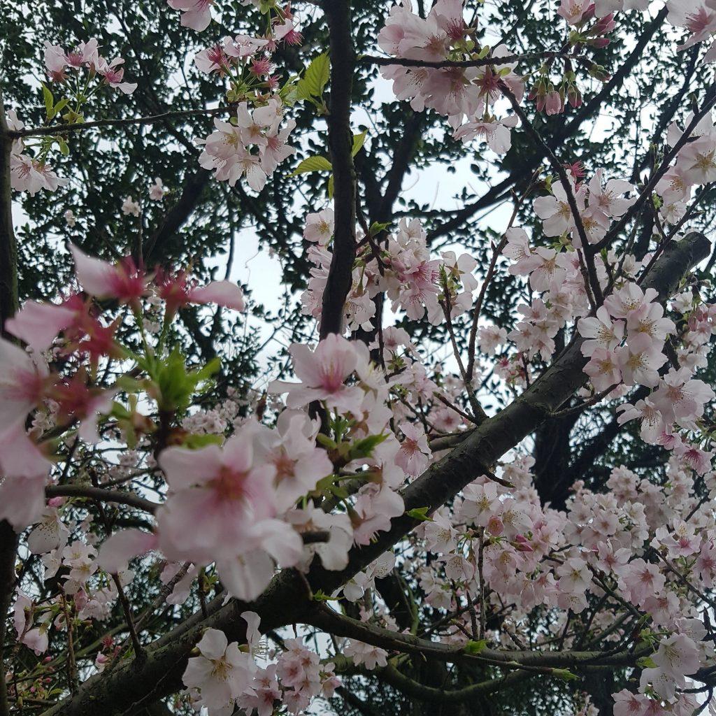 진과스 황금박물관 벚꽃